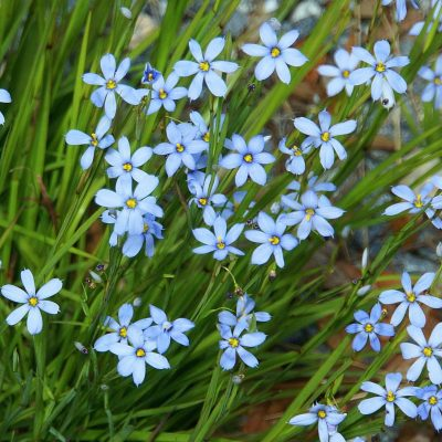 Picture of Blue-Eyed Grass