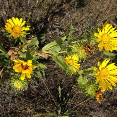 Oregon Gumweed image