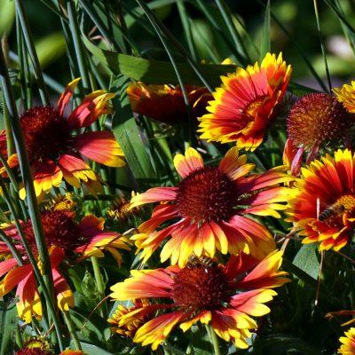 Blanket Flower image