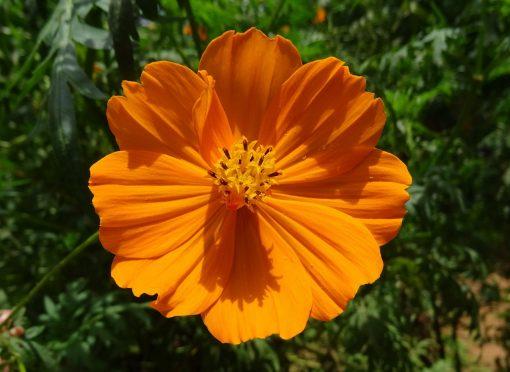 orange cosmos image