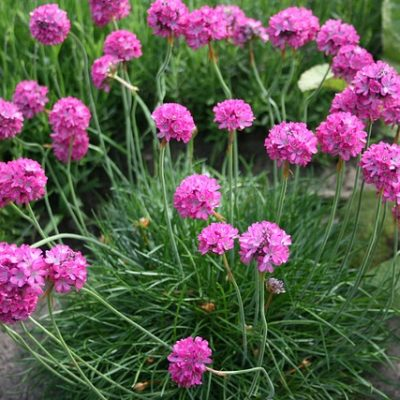 Sea Thrift picture