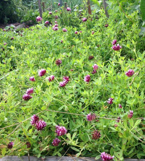Springbank Clover growing on Metchosin Farm